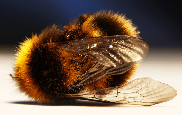 37 Million Bees Found Dead In Ontario